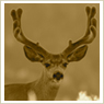 Mule Deer Photos